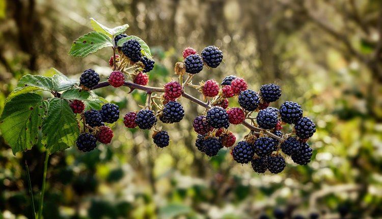 fructe-pădure-mure